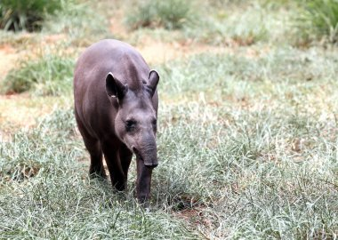 Baird's tapir walking through forest searching for food. This is