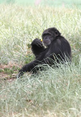 Smart intelligent chimpanzee sitting in relaxed mood and playing