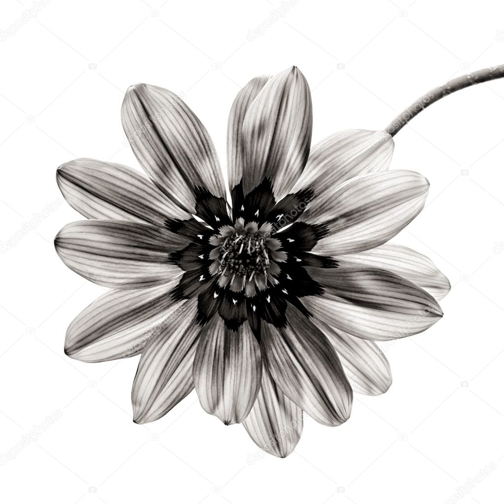 Flower in black and white on white background. — Stock ...