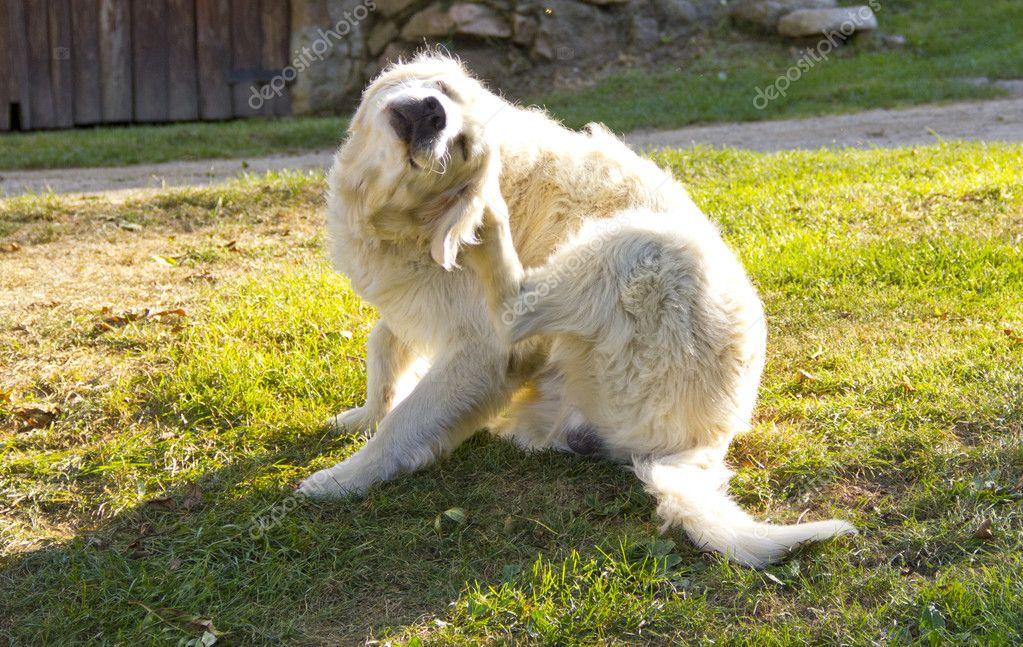 Golden retriever dog scratching