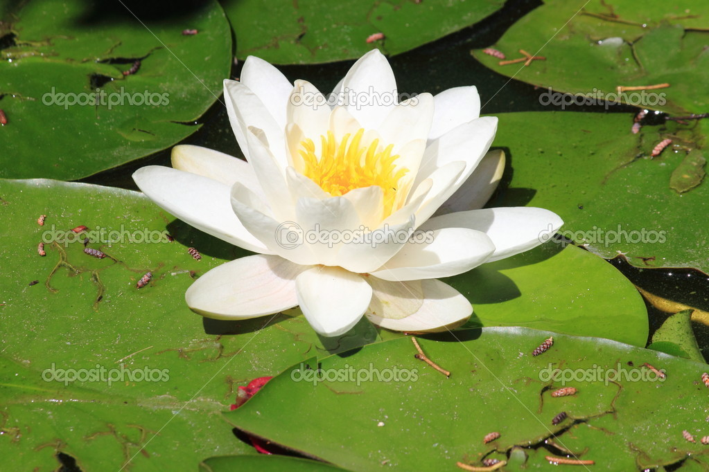 White waterlily flower nymphaea alba stock photo alessandro0770 white waterlily flower with yellow pistils scientific name nymphaea alba photo by alessandro0770 mightylinksfo