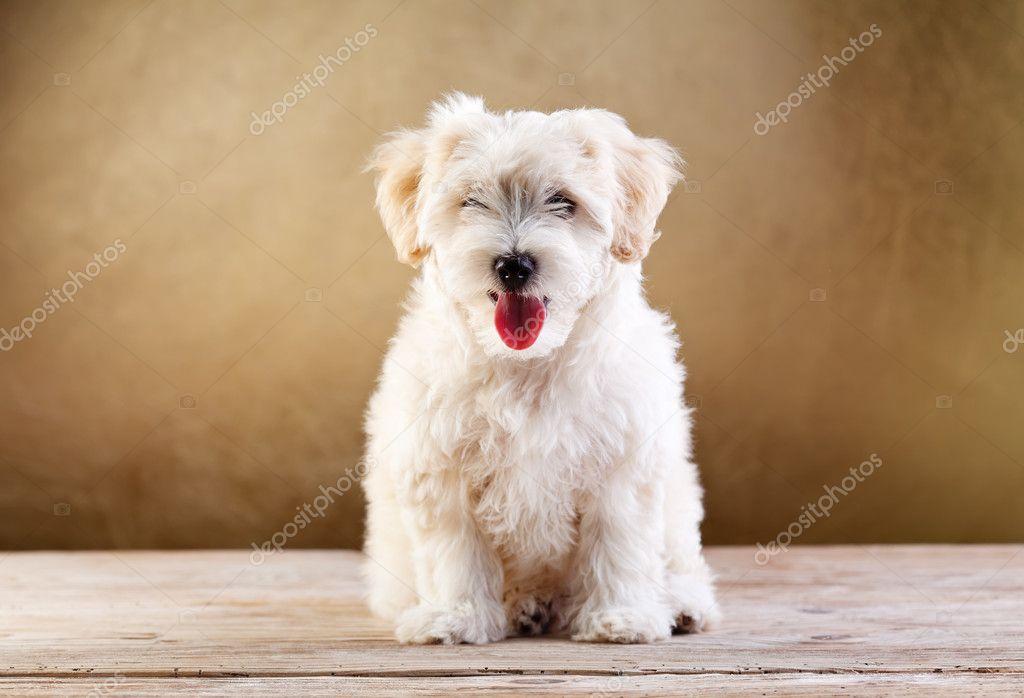 Fluffy pet - small dog sitting