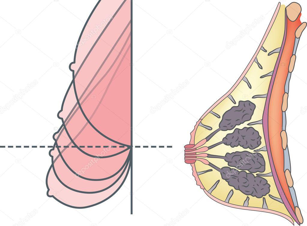 Anatomía del pecho femenino — Archivo Imágenes Vectoriales ...
