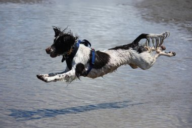 A flying, wet working type english springer spaniel on a sandy beach