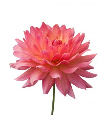 Isolated pink flower on white background
