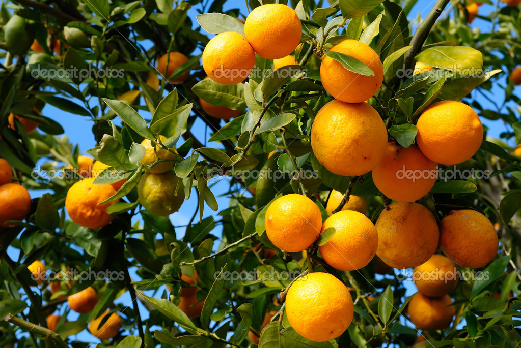 Tangerine plant full with tangerine fruits