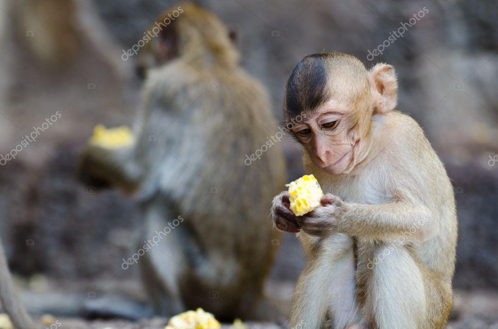 Monkey sitting eating corn.