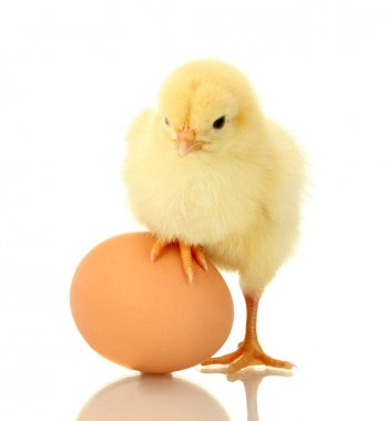 Beautiful little chicken and egg isolated on the white