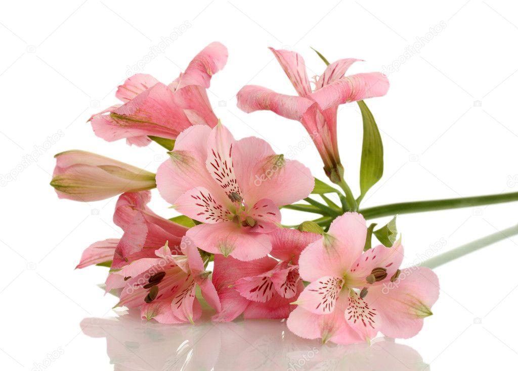 Alstroemeria rosa Blumen isoliert auf weiss — Stockfoto © belchonock ...