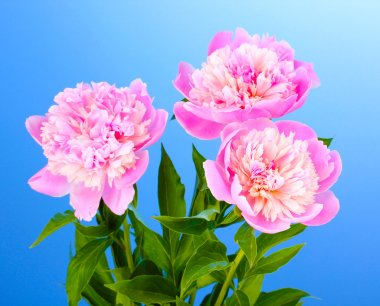 Three pink peonies on blue background
