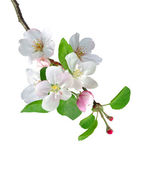 Photo White apple flowers branch isolated on white background