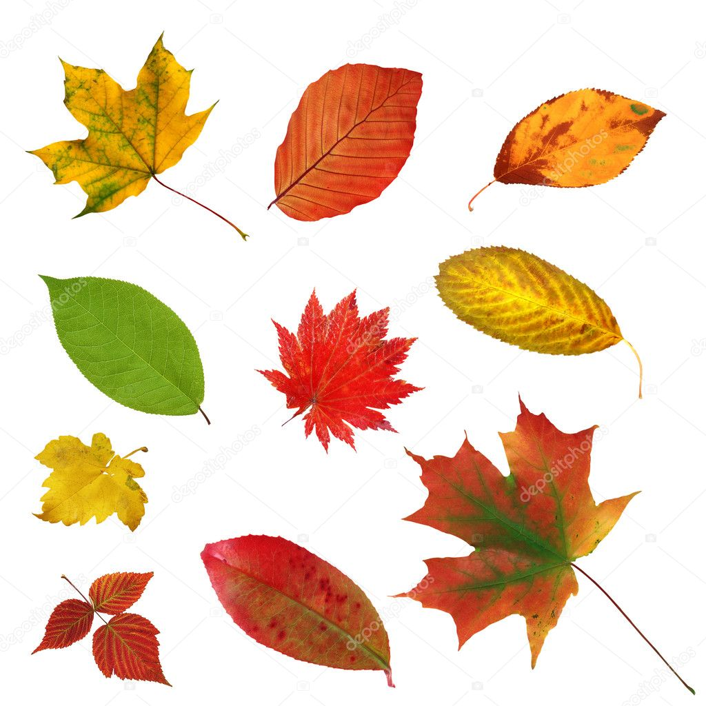Big collection beautiful colourful autumn leaves isolated on whi