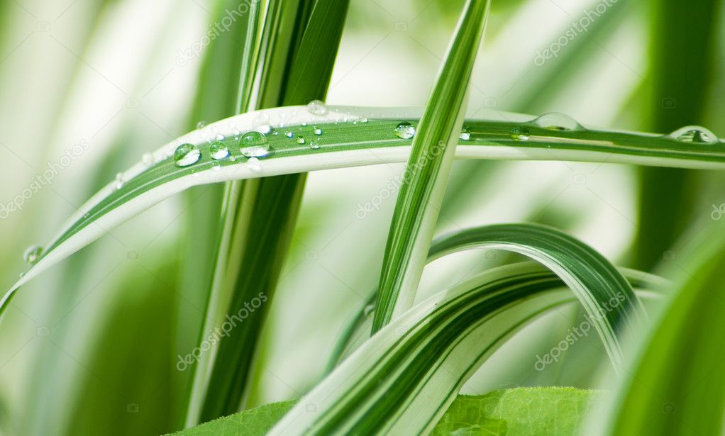 Grass with water drops, dew. Green natural background