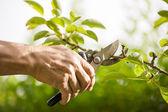 prořezávání stromů s zahradnické nůžky