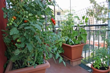Red tomatoes grown in a pot on the terrace of a House