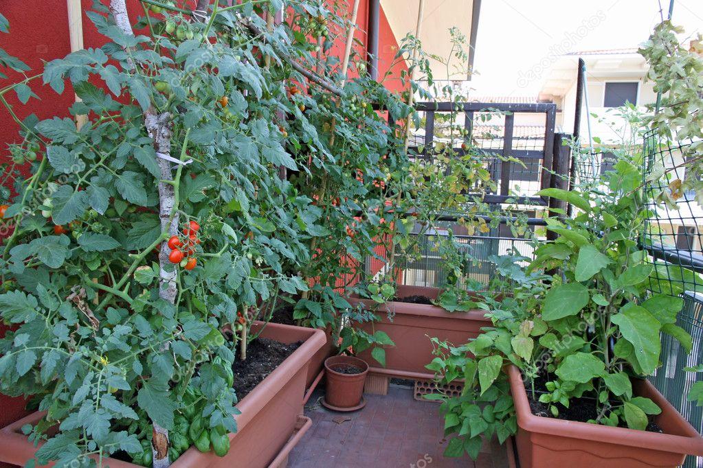 Plantas Exuberantes Con Tomates Cultivados En Una Maceta En