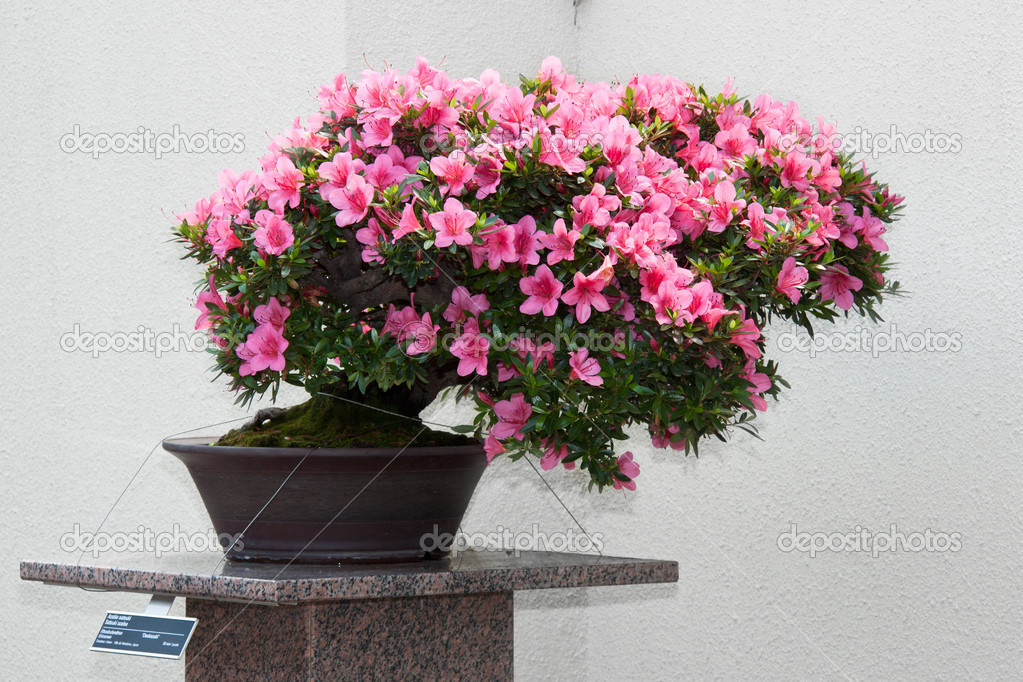 Satsuki Azalea Bonsai In Flowering Boom Stock Photo C Abotusan 10919364