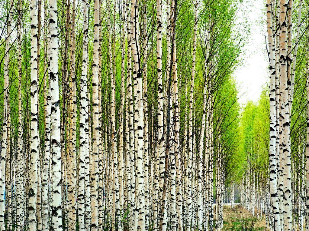 Birch trees in spring