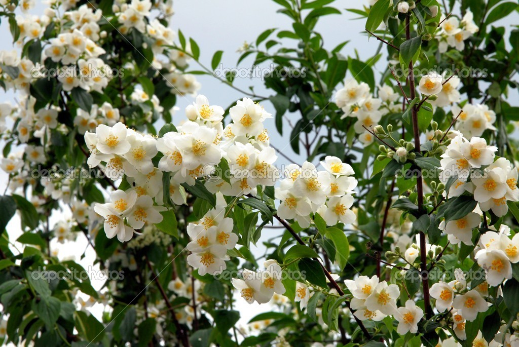 Jasmine Shrub With Whitefragrant Flowers Stock Photo Manka