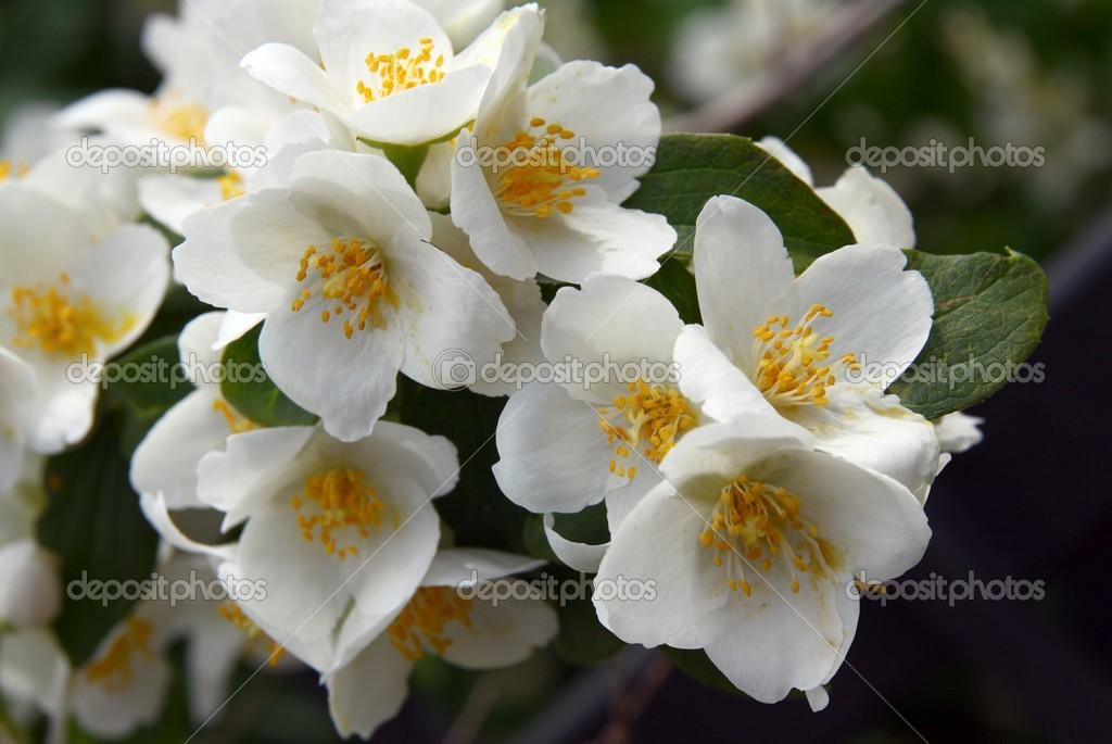Jasmin Arbuste A Fleurs Blanches Odorantes Photographie Manka