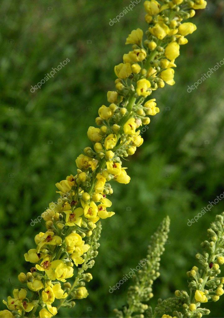 gelbe bl 252 ten der k 246 nigskerze pflanze stockfoto 169 manka 11673209