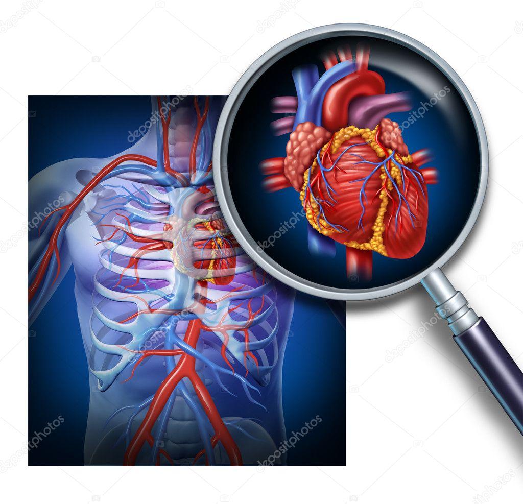 Anatomie des menschlichen Herzens — Stockfoto © lightsource #11011987