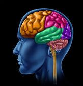 Fotografie sekce laloku mozku na černém pozadí