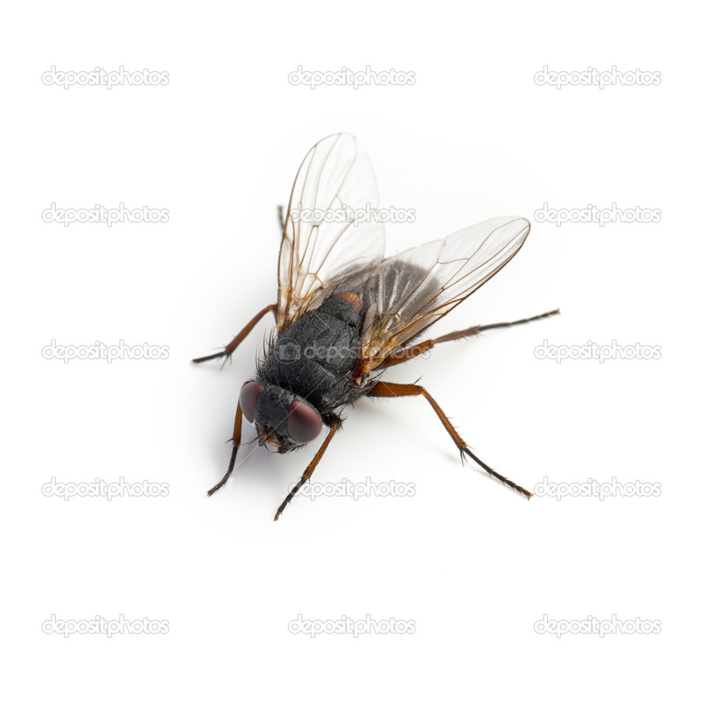 Black housefly on white background