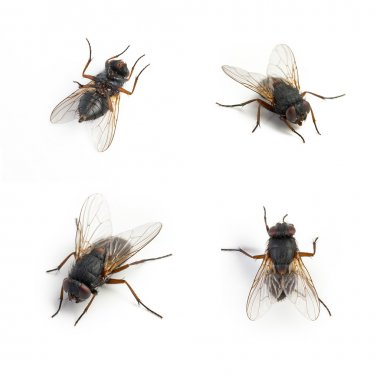 Black housefly dead set collage