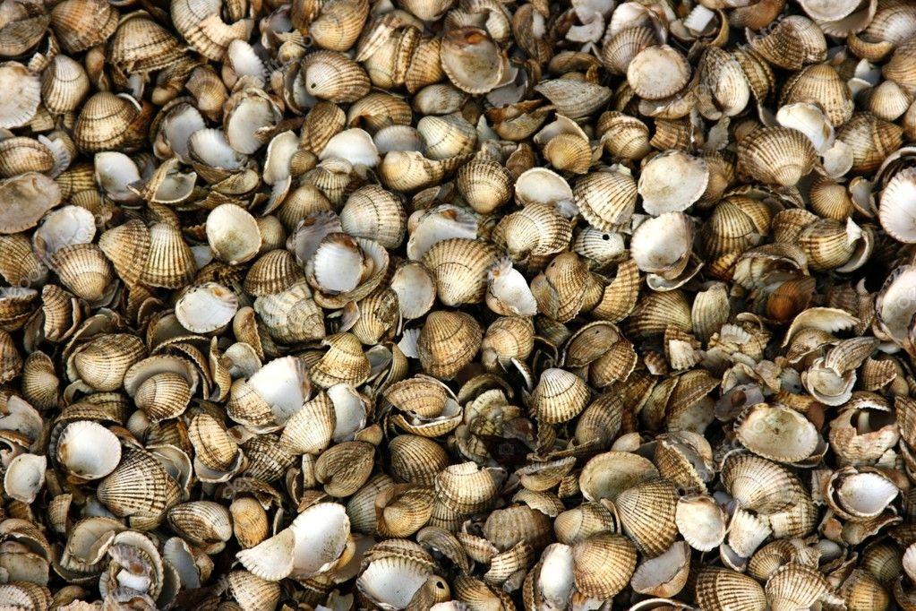 Cardium Edule Cockle Shells