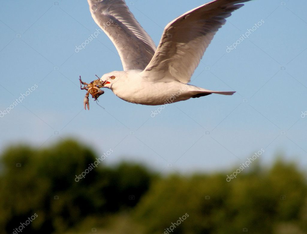 Seagull Carrying Live Crayfish
