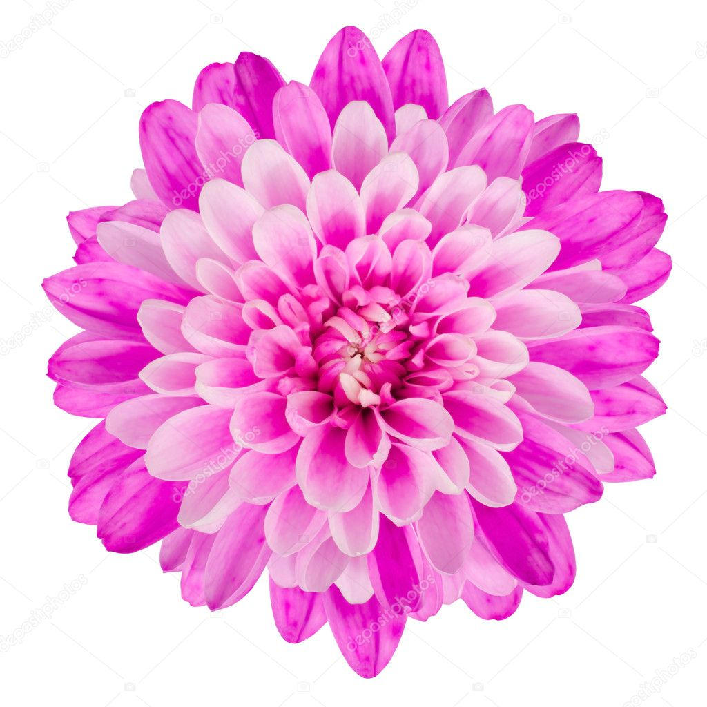 Pink Chrysanthemum Flower Isolated on White Background