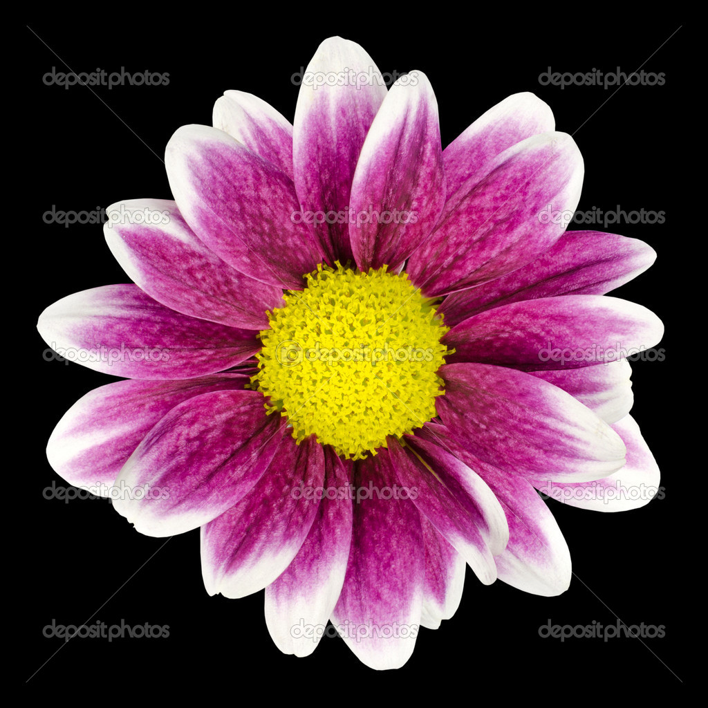Purple Dahlia Flower With Yellow Center Isolated Stock Photo