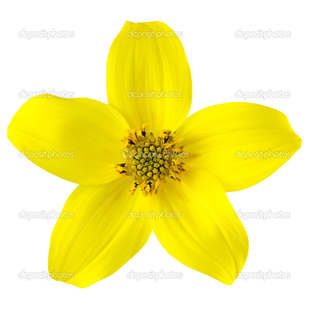 Yellow wild flower with five petals isolated stock photo tr3gi yellow wild flower with five petals isolated stock photo mightylinksfo