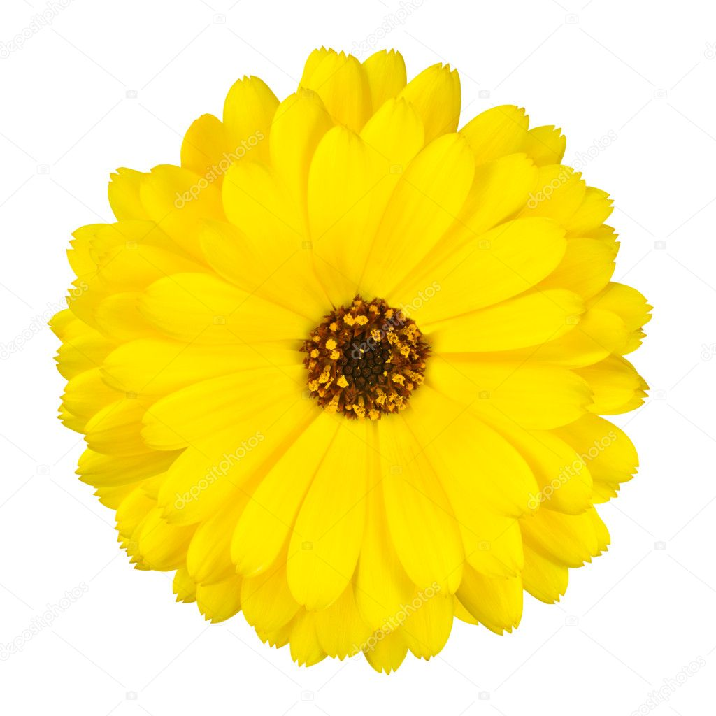 Blossoming Yellow Pot Marigold Flower Isolated