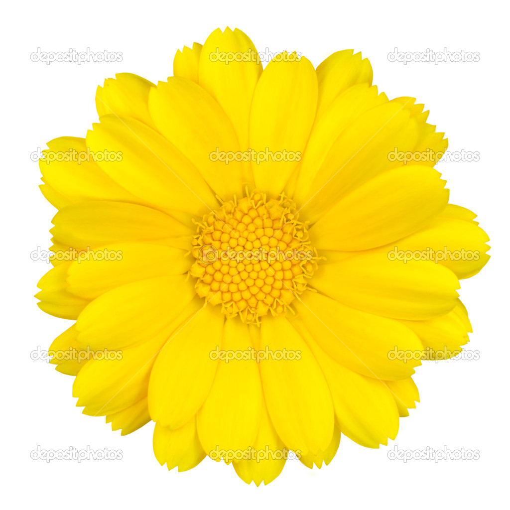 Beautiful Yellow Daisy Isolated on White
