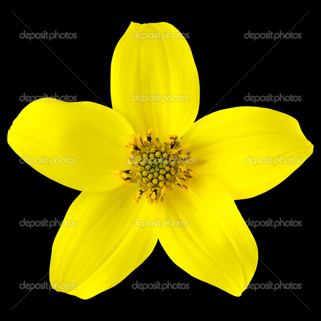 Yellow wild flower with five petals isolated on black stock photo yellow wild flower with five petals isolated on black stock photo mightylinksfo