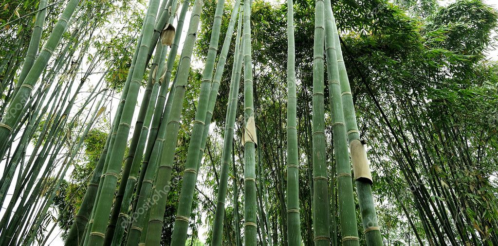 The bamboo groves