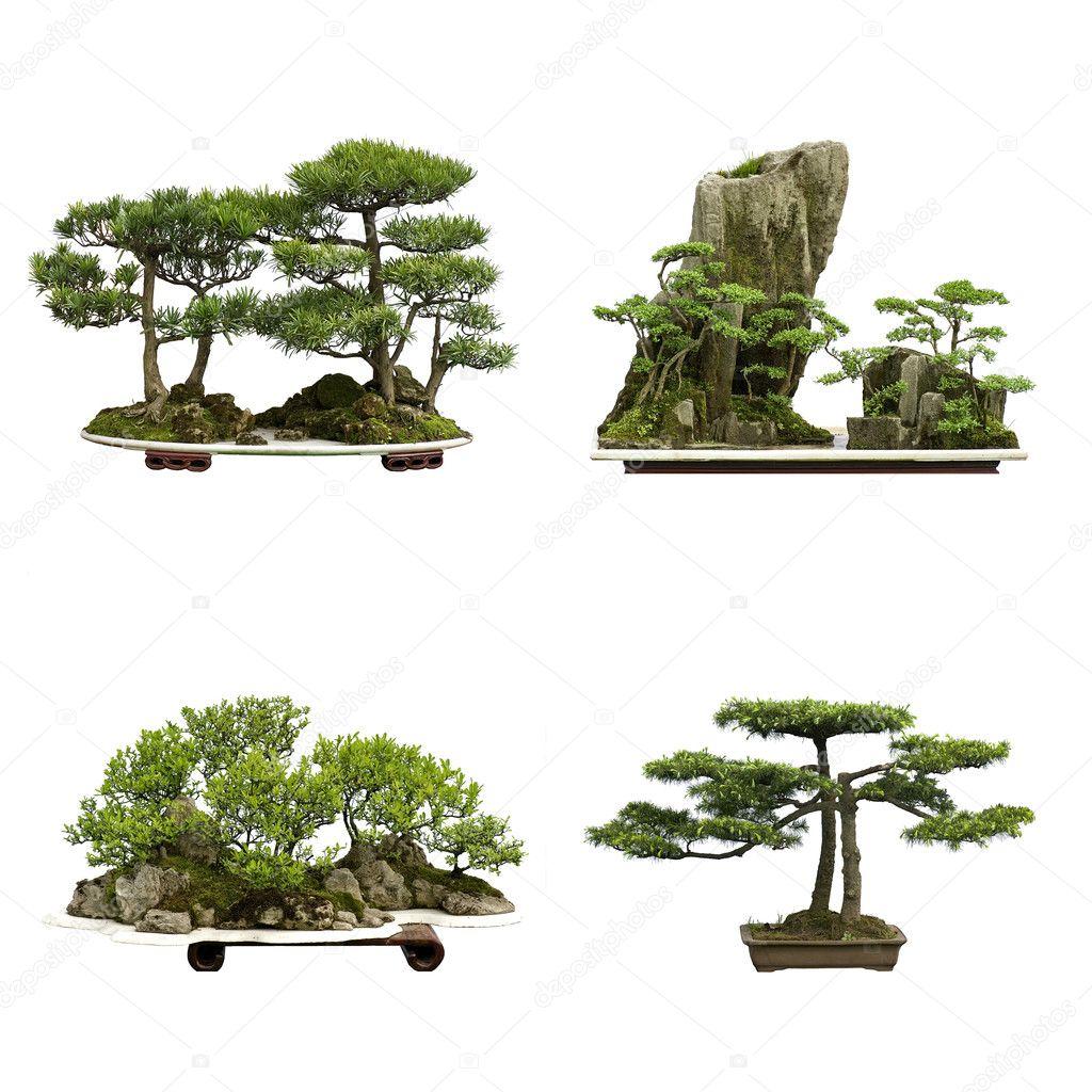 China Cedar Bonsai Stock Photo C Jackq 10794717