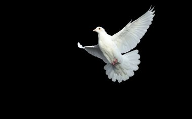 White dove in free flight