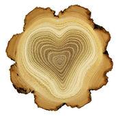 srdce stromu - růst kroužky akátu - průřez