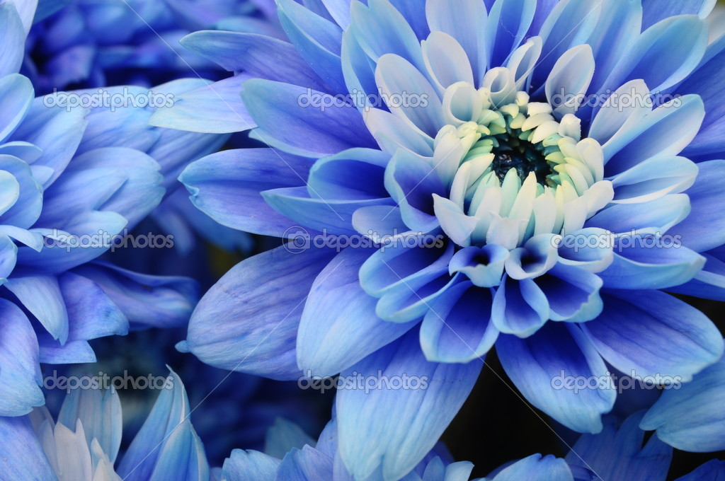 macro of blue flower aster  stock photo © fullempty, Natural flower