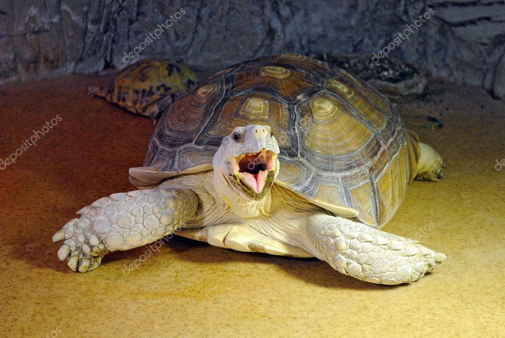 Красноухая черепаха зевает