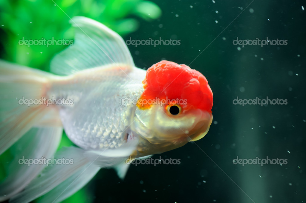 Poisson oranda bonnet rouge photographie calvste 11186807 for Tarif poisson rouge
