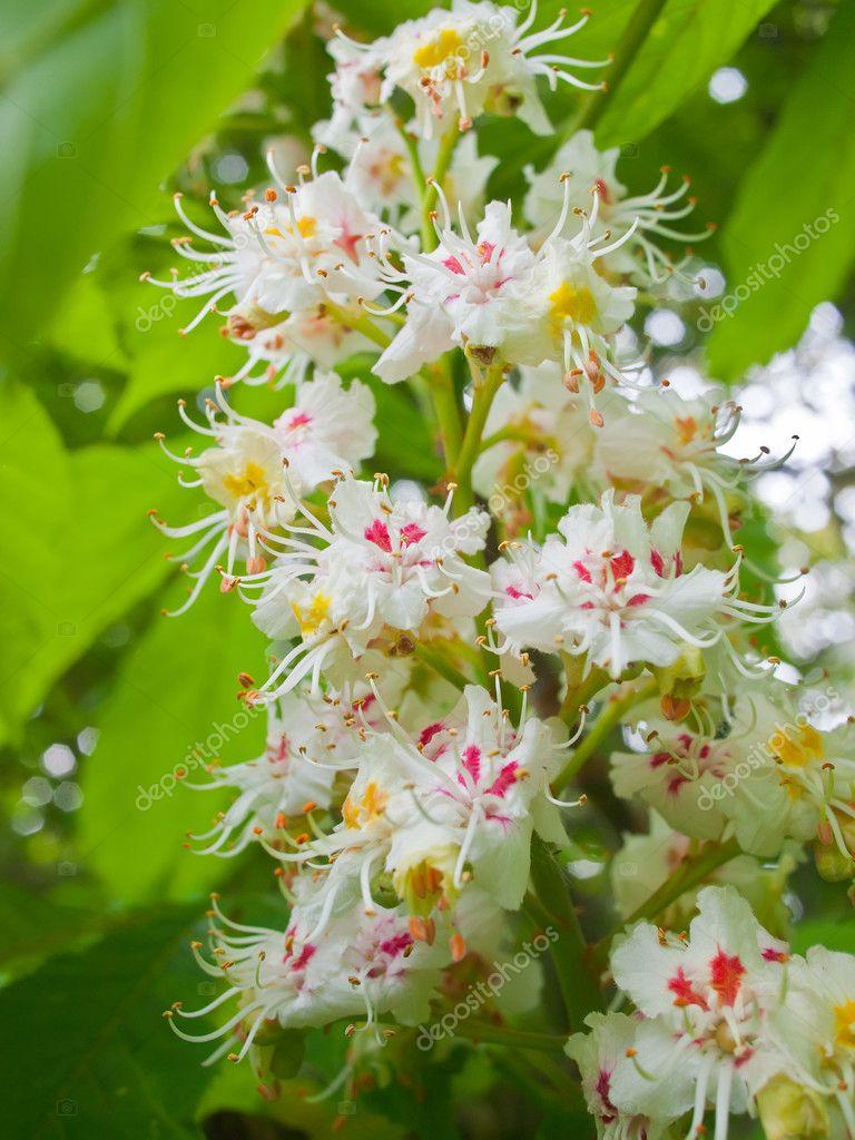 Blossoming chestnut closeup.