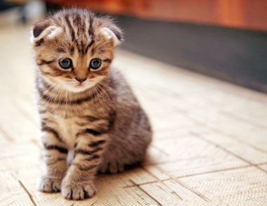 Funny curious Scottish fold kitten