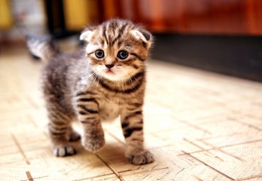Curious striped scottish fold kitten going to play