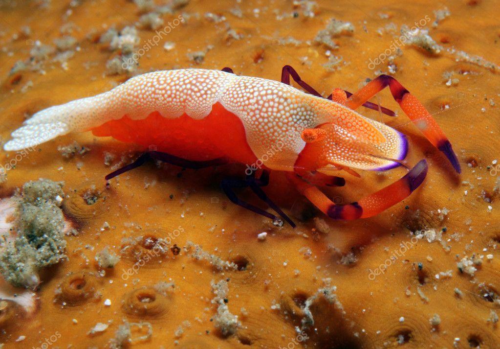 Emperor Shrimp