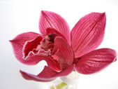 Fotografie Red orchid