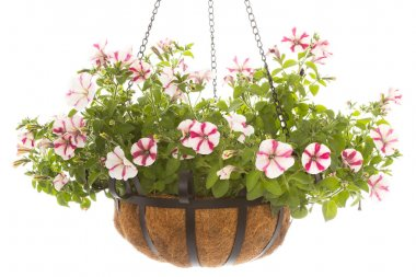Petunia in basket